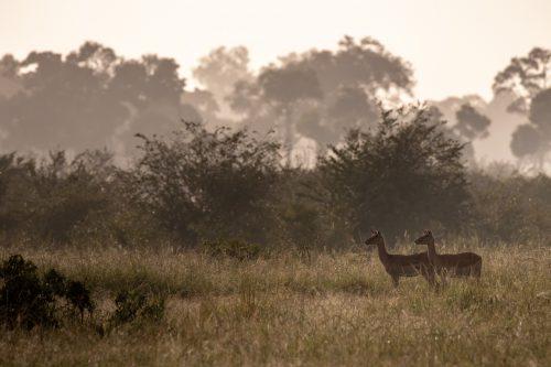 Two female impala survey their surroundings for danger