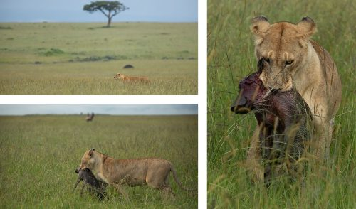 The Salt Lick Pride; playing and hunting - what lions do best