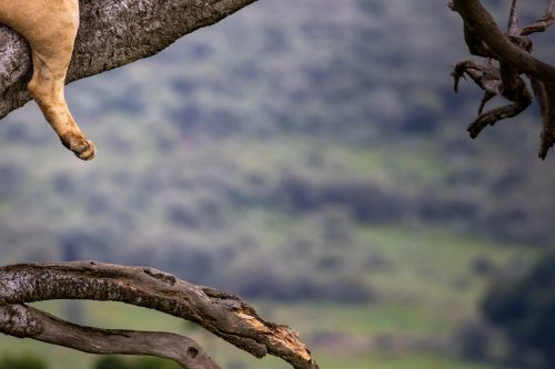 An abstract of the tree climbing lionesses