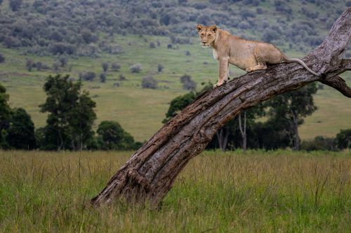 Lions in the Mara make use of the trees as vantage points for hunting