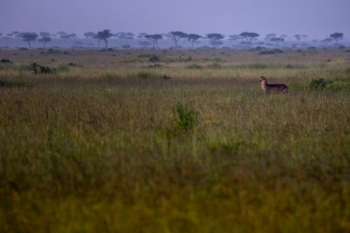 The Mara landscape; complete with alert antelope
