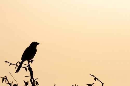 Shrike silhouette