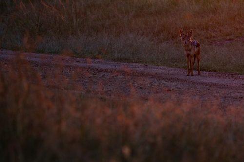 A typical Mara scene; jackal in the rising sun