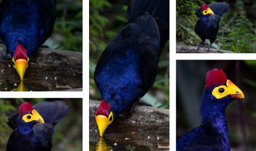 The resident pair of Ross's Turacos at our bird bath