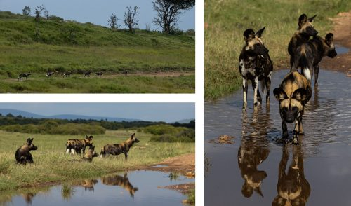 The pack of seven wild dog recently found in the northern extremities of the reserve