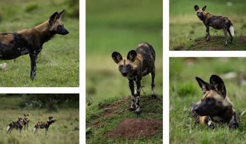 The wild dogs are beautifully contrasted by the emerald grasses of the Mara