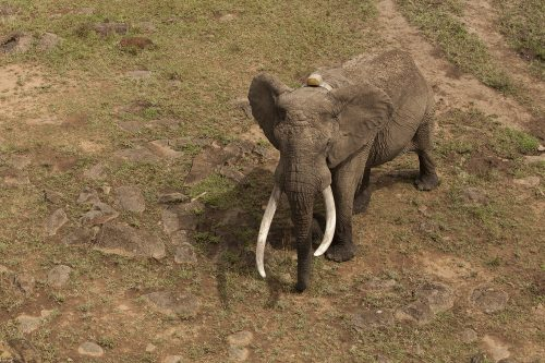 Large male elephant viewed from above