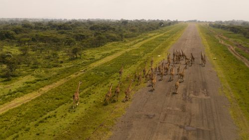 A large journey of giraffe gather at the Angama airfield