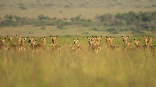 The tall green grasses of the Mara are what makes photography in this beautiful reserve so unique
