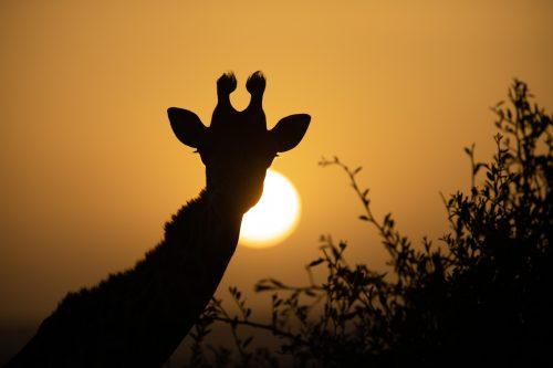 Dawn breaks in the Maasai Mara