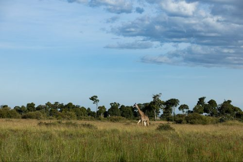 A lone giraffe bull strides across the clearing in search of his next meal