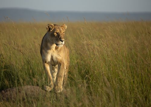 A lioness uses a termite mound as a vantage point