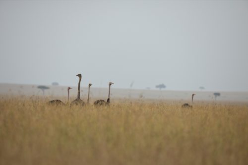 Five ostriches bathed in a fine mid-morning mist