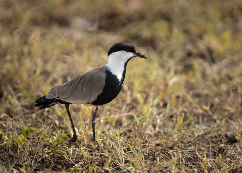 A spur winged lapwing searches for its next meal