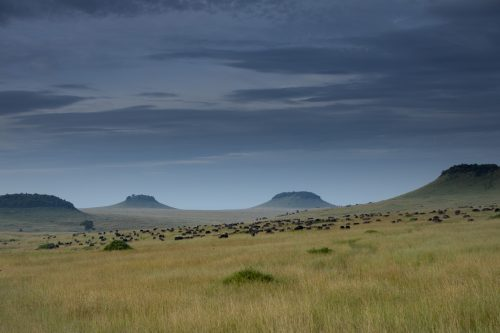 A herd of over 600 buffalo graze amongst the Inselbergs
