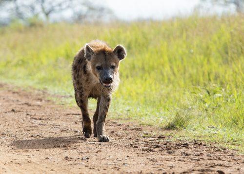 A lone hyena on morning patrol