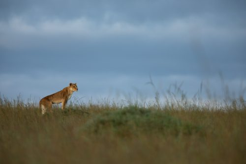 A lioness uses the cover of the tall grass to her advantage