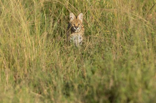 A serval cat silently stalks a rodent in the long grass