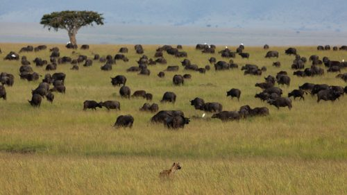 Hyena continue to torment the buffalo population in the Mara