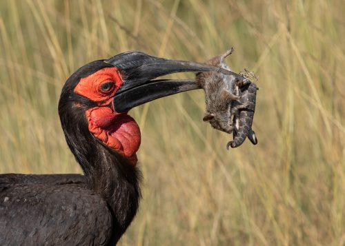 Adam's sighting of the week, a male southern ground hornbill catches a feast
