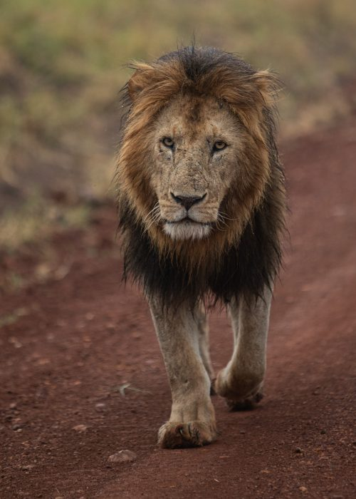 Water droplets cling to the mane of this male lion