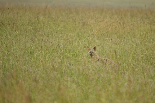 An Aardwolf in the Mara Triangle