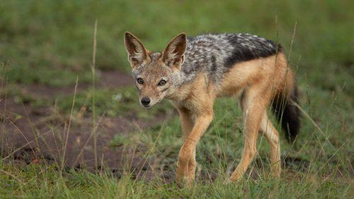A jackal keeps an eye on a nearby family of guineafowl