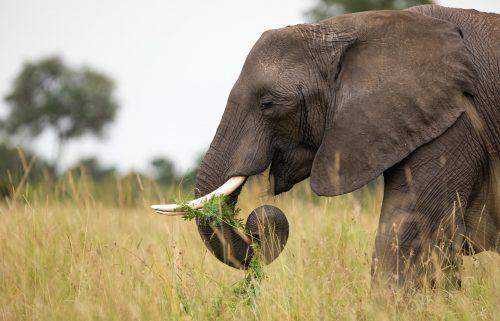 A female elephant feeds on an acacia sapling