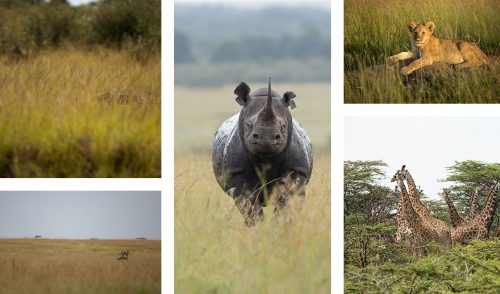 From a secretive serval, to a bold black rhino the tall grasses and green thicket provide sustenance and shelter for all animals