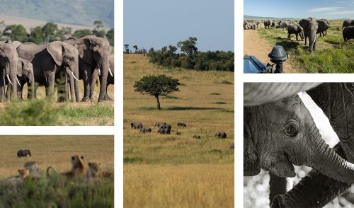 The Elephants in the Mara are not only abundant, but incredibly relaxed too