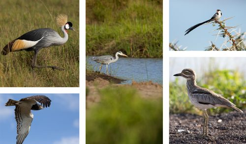 Birds of all shapes and sizes continue to thrive in the Mara ecosystem