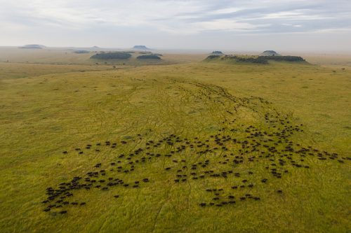 A large herd of buffalo make their way through the Mara Triangle