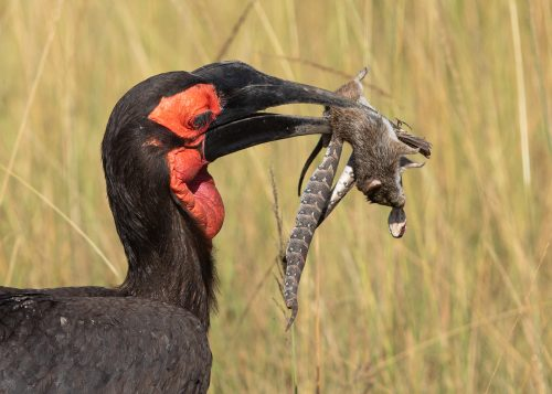 A male Southern ground hornbill with a range of treats for his mate and fledgling nesting nearby