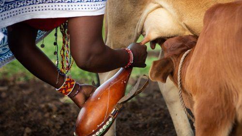 Local Maasai milk supplier