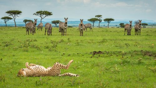 Cheetah posing for an audience of zebra during the green season