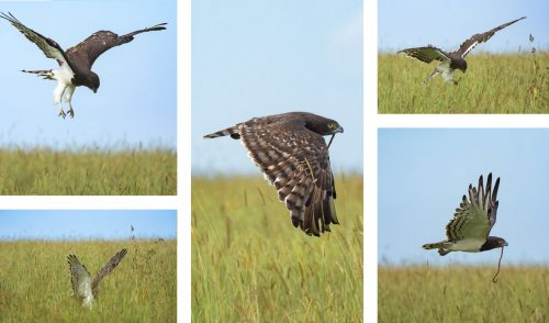 A black-chested snake eagle hovers over a snake before making its kill