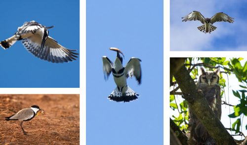 We wonderful week of birds from a pied kingfisher catching a fish to a spur-winged plover and best of all a Verreaux's eagle-owl