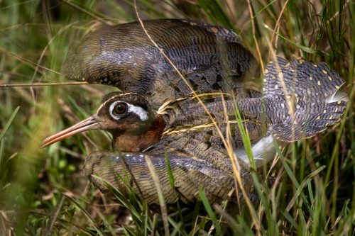 A protective African painted snipe