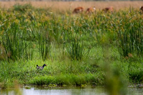A lovely sighting of an African swamphen