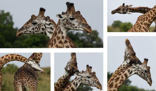 Male giraffe 'necking'
