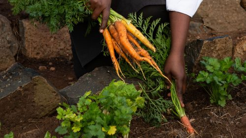 Fresh carrots right from the earth