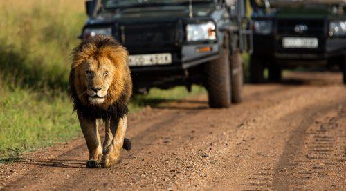 Chongo, one of the Bila Shaka males coming down the road