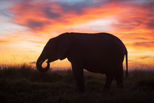 An elephant grazing in the sunrise
