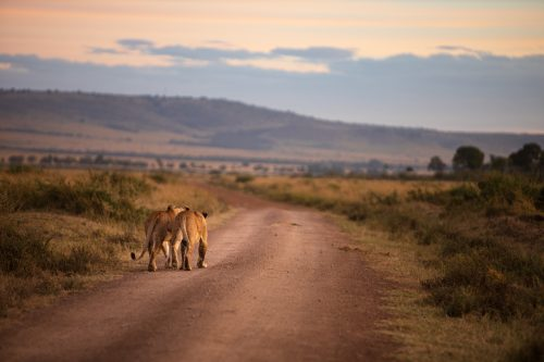 Lionesses on the road