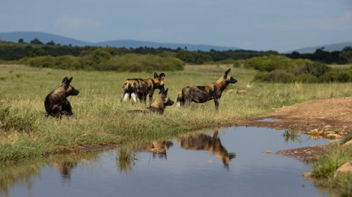 Wild dogs spotted in the Northern Mara