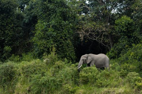 An elephant grazing along the edge of the forest