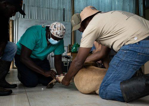 A successful make-shift veterinary clinic