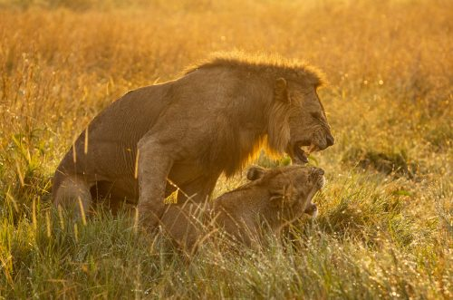 The female is a lioness from the Angama Pride