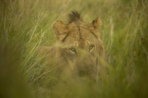 A lion hiding in the grass to enjoy his meal