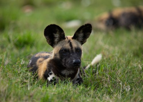 A rare wild dog siting in the Maasai Mara
